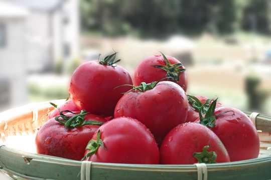 嫣红的西红柿图片
