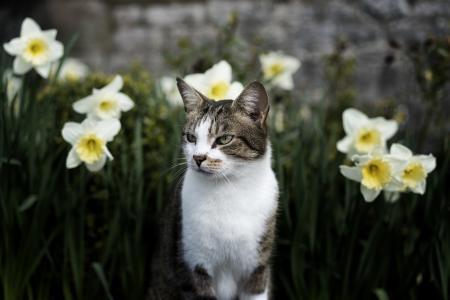猫坐在一个字段的水仙全高清壁纸和背景