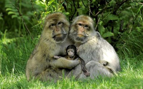 日本猕猴,也被称为雪猴,和一个婴儿全高清壁纸和背景