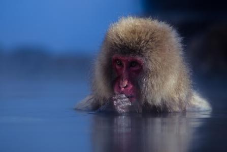 日本猕猴全高清壁纸和背景
