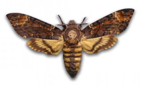 死亡头蛾全高清壁纸和背景