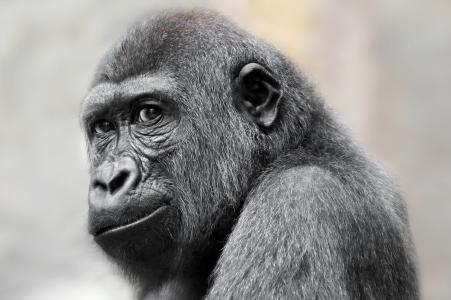 大猩猩全高清壁纸和背景