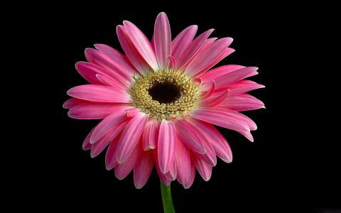粉红色的雏菊全高清壁纸和背景