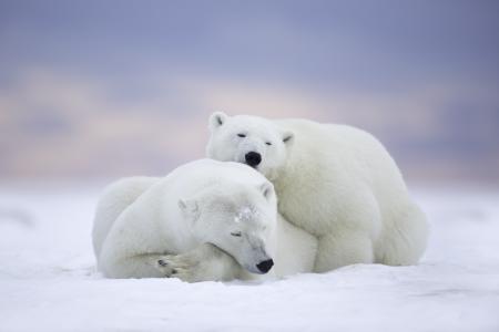 北极熊拥抱5k视网膜超高清壁纸和背景