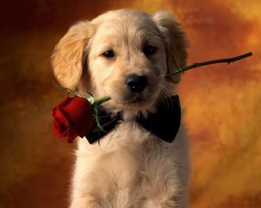 情人节狗与红玫瑰全高清壁纸和背景