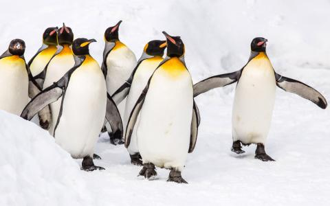 国王企鹅5K视网膜超高清壁纸和背景