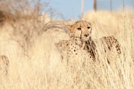 猎豹全高清壁纸和背景