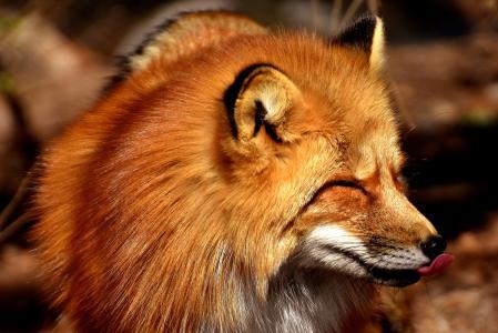 狐狸4k超高清壁纸和背景