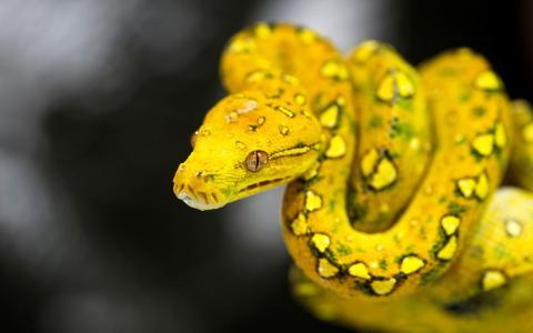 黄蛇全高清壁纸和背景