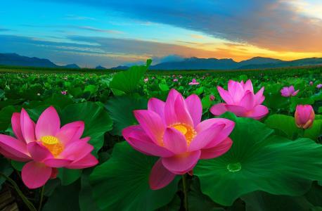 粉红色的莲花花朵壁纸和背景