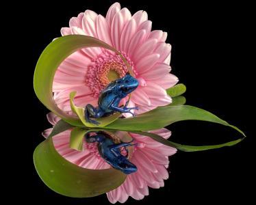 蓝色的青蛙和非洲菊反映在镜子全高清壁纸和背景