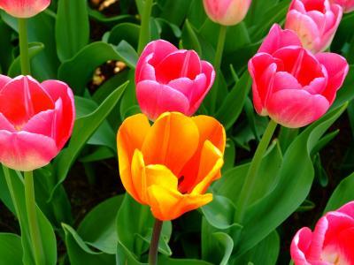 粉色和橙色郁金香全高清壁纸和背景图像