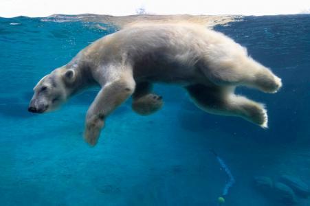 北极熊游泳全高清壁纸和背景