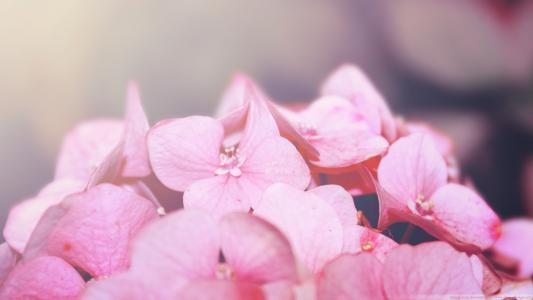 绣球花全高清壁纸和背景图像