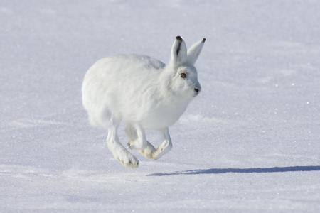 北极兔子,也被称为极地兔全高清壁纸和背景