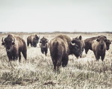 美国野牛全高清壁纸和背景