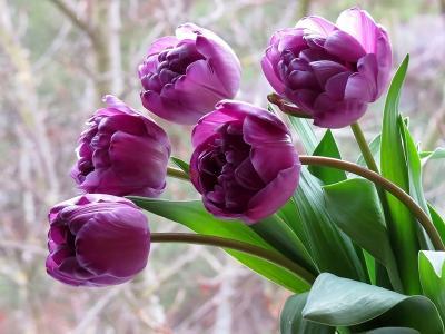 紫色郁金香壁纸和背景
