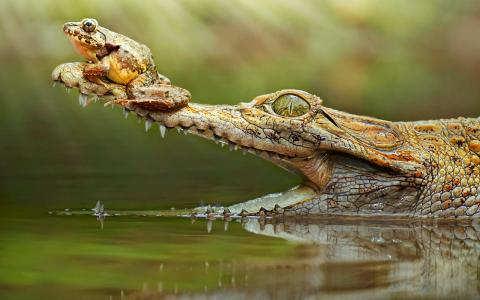 青蛙在鳄鱼的鼻子全高清壁纸和背景