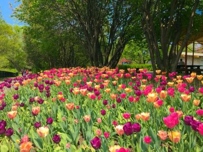 郁金香在公园全高清壁纸和背景