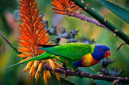 彩虹澳洲鹦鹉全高清壁纸和背景