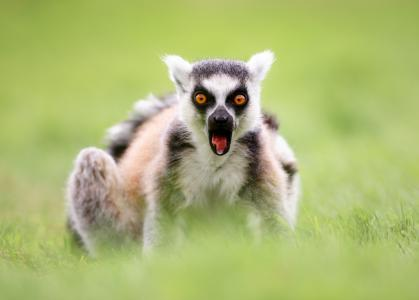 狐猴5k视网膜超高清壁纸和背景