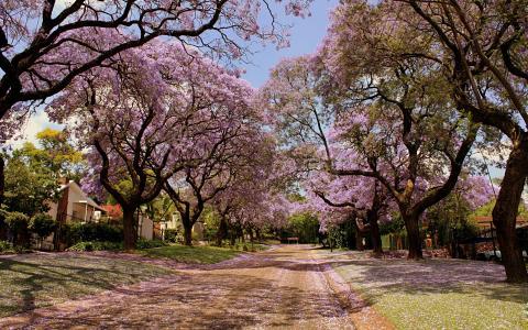 樱花树衬街街道全高清壁纸和背景图像