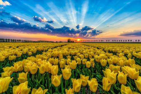 日落时郁金香场全高清壁纸和背景