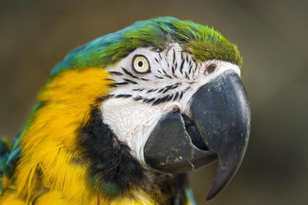蓝色和黄色的金刚鹦鹉4k超高清壁纸和背景