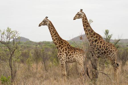 长颈鹿全高清壁纸和背景