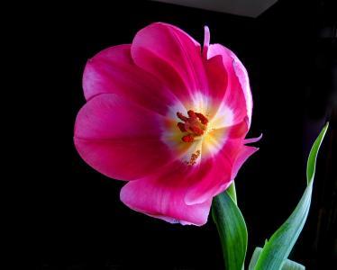 粉色郁金香全高清壁纸和背景