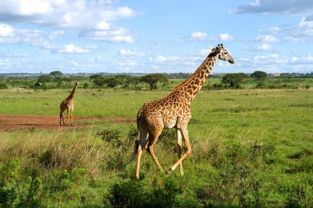 长颈鹿在内罗毕国家公园,肯尼亚全高清壁纸和背景