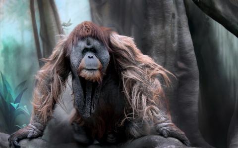 猩猩全高清壁纸和背景