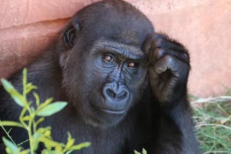 大猩猩5k视网膜超高清壁纸和背景