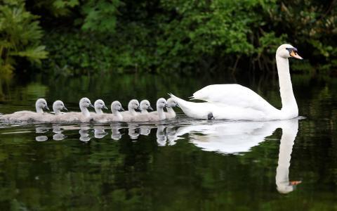 一排天鹅在湖里游
