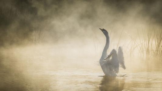 扇翅膀的天鹅