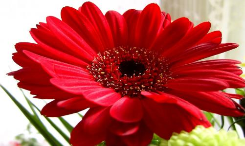 红色的非洲菊壁纸和背景图像
