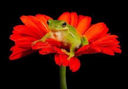 绿色的树蛙坐在非洲菊全高清壁纸和背景