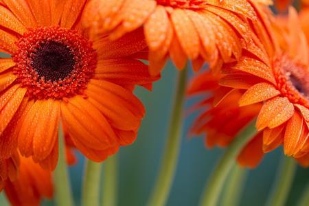 橙色非洲菊全高清壁纸和背景图像