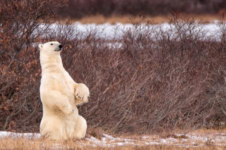 北极熊全高清壁纸和背景