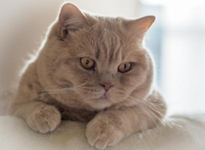 可爱的英短猫