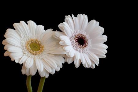 德兰士瓦雏菊全高清壁纸和背景